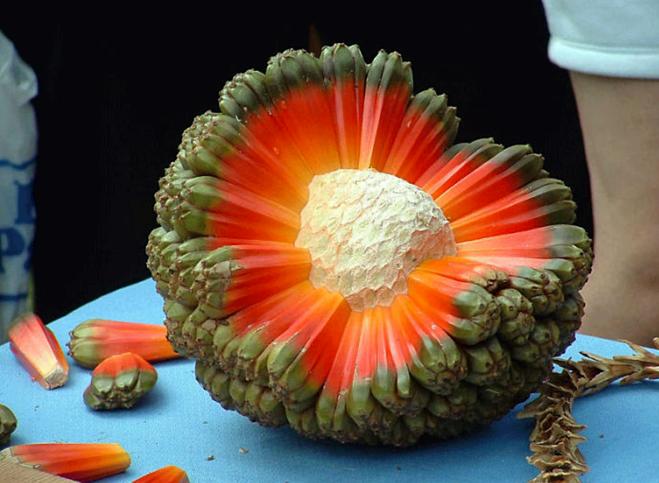 Từ rễ, lá, hoa, quả dứa dại đều có nhiều công dụng chữa bệnh. Ảnh: Reddit