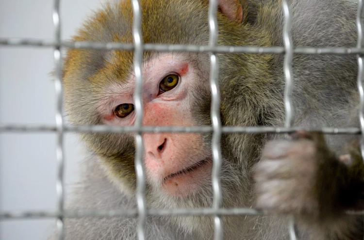 Khỉ vàng được cho nhiễm virus đã sản sinh kháng thể mạnh mẽ. Ảnh: AFP