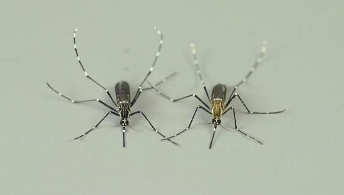 Giống muỗi Aedes châu Phi chỉ cắn động vật (trái) và muỗi Aedes chỉ cắn người (phải). Ảnh: Carolyn McBride