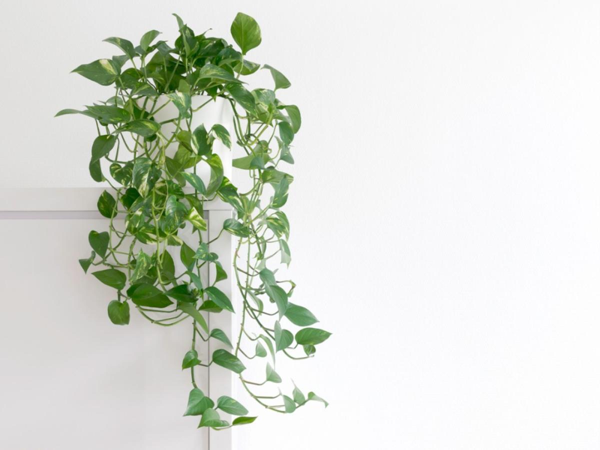 pothos-plant-1619070643.jpg?w=1200&h=0&q=100&dpr=1&fit=crop&s=Xj1p4MVz5A-Qfldt6Z9o4g