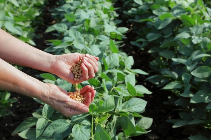 Hạt đậu nành từ lâu đã là nguồn nguyên liệu quen thuộc trong bữa ăn của người Việt. Ảnh: Vinasoy.
