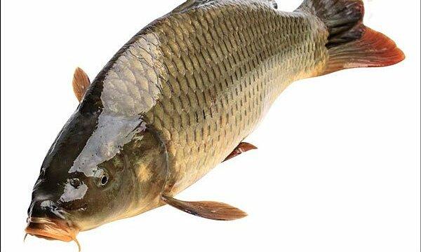 Ngộ độc vì nuốt sống mật cá chép